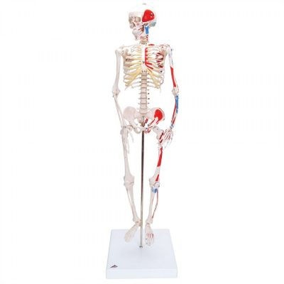 Human Body Bone Set (Buyontheway)